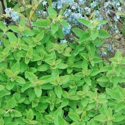 Golden Marjoram Plants x3