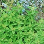 Golden Marjoram Plants x3