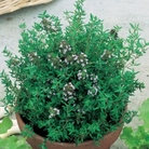 Thyme Compact Plants x3