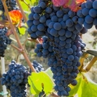 Grape Muscat Blue Vine