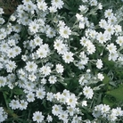 Cerastium Snow in Summer Seeds