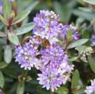 Hebe 'Caledonia' (shrubby veronica)