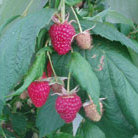 raspberry 'Polka' (PBR) (raspberry   primocane (mainly autumn fruiting))