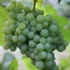grape 'Pinot Blanc' (white wine grape)
