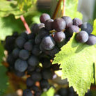 grape 'Regent'  (PBR) (grape)