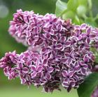 Syringa vulgaris 'Sensation' (common Lilac)