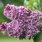 Syringa vulgaris 'Sensation' (common Lilac)