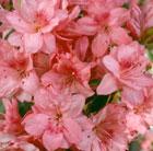 Rhododendron 'Blaauw's Pink' (evergreen azalea)