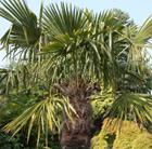 Trachycarpus fortunei (chusan palm)