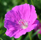Geranium sanguineum (bloody cranesbill)