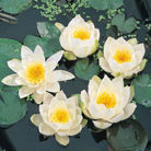 Nymphaea alba (white water lily)
