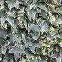 Hedera helix 'Glacier' (common ivy)