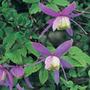 Clematis alpina (alpine clematis (group 1))