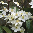 Clematis armandii 'Snowdrift' (clematis (group 1))