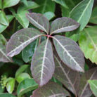 Parthenocissus henryana (Chinese virginia creeper)