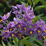 Solanum crispum 'Glasnevin' (Chilean potato tree)