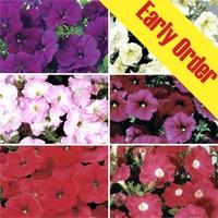 Petunia Grand Prix Patchwork (Trailing) 50 Plants + 20 FREE