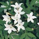 Jasminum officinale (common white jasmine)