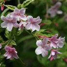 Jasminum x stephanense (jasmine)
