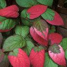 Actinidia kolomikta (kolomikta vine / michurin actinidia)