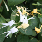 Lonicera japonica 'Halls Prolific' (Japanese honeysuckle)