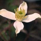 Clematis montana var. grandiflora (clematis (group 1))