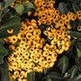 Pyracantha Saphyr Jaune ('Cadaune') (PBR) (firethorn (syn. Saphyr Yellow))