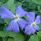Clematis 'Perle d'Azur' (clematis (group 3))