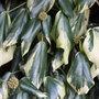 Hedera colchica 'Dentata Variegata' (Persian ivy)