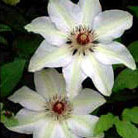 Clematis 'Henryi' (clematis (group 2))