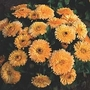Calendula Officinalis Nana 'Apricot Twist' 1 packet (100 seeds)