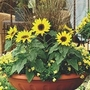 Helianthus Annuus Choco Sun 1 packet (10 seeds)