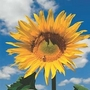 Helianthus Mongolian Giant 1 packet (10 seeds)