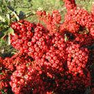 Pyracantha Saphyr Rouge ('Cadrou') (PBR) (firethorn (syn. Saphyr Red))