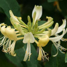 Lonicera japonica 'Halliana' (Japanese honeysuckle)