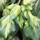 Hedera colchica 'Sulphur Heart' (Persian ivy)