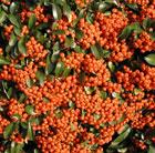 Pyracantha Saphyr Orange ('Cadange') (PBR) (firethorn)
