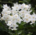 Solanum laxum 'Album' (potato vine)
