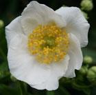 Carpenteria californica (carpenteria)
