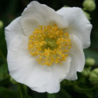 Carpenteria californica (carpenteria)