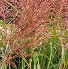 Miscanthus sinensis 'Malepartus' (Chinese silver grass)