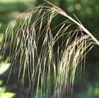 Stipa gigantea (golden oats)