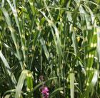 Miscanthus sinensis 'Zebrinus' (zebra grass)