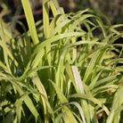 Milium effusum 'Aureum' (Bowles' golden grass)