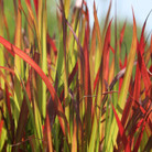 Imperata cylindrica &#x27;Rubra&#x27; (blood grass (syn. Red Baron))