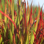 Imperata cylindrica 'Rubra' (blood grass (syn. Red Baron))