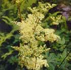 Filipendula ulmaria (meadowsweet)