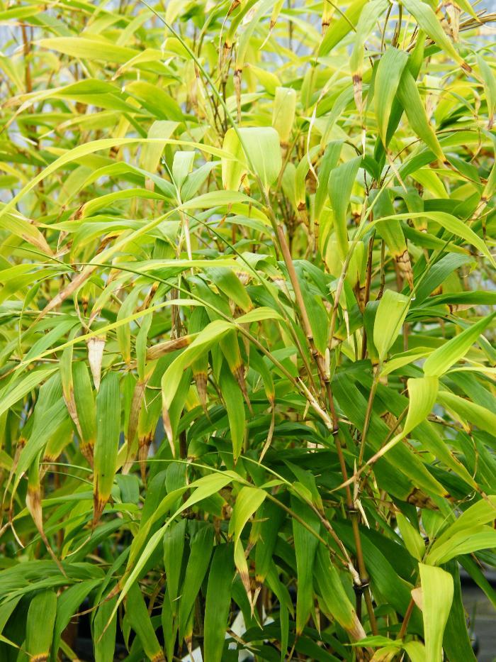BAMBOO Chimonobambusa quadrangularis