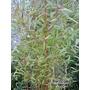 BAMBOO Phyllostachys aureosulcata 'Aureocaulis