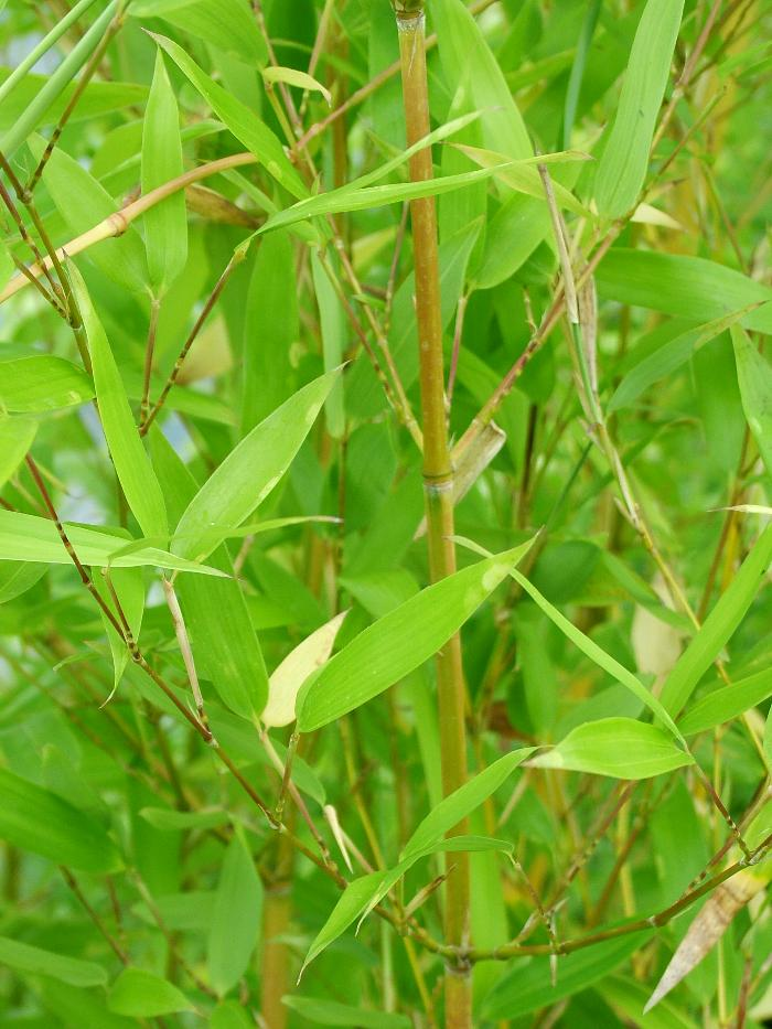 BAMBOO Phyllostachys aureosulcata 'Spectabilis'